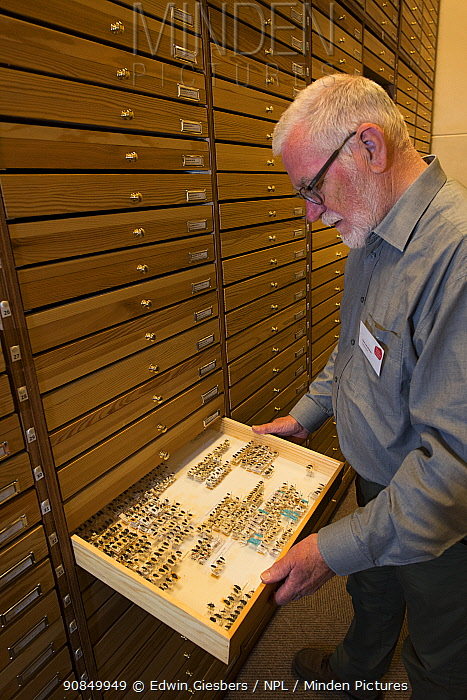 Entomologist looking at pinned Insect specimens in collection. Nature Museum Brabant, Tilburg, The Netherlands. 2019.
