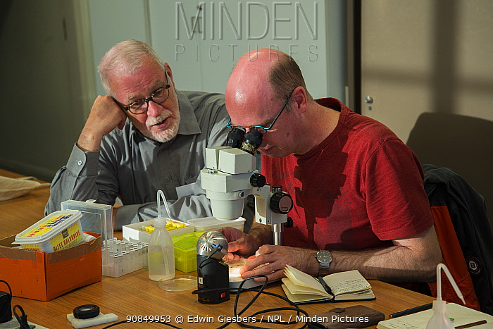 Entomologist from the KNNV association of field biologists identifying insect using microscope. Nature Museum Brabant, Tilburg, The Netherlands. 2019.