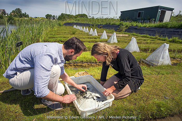 Ecotoxicologists sampling aquatic invertebrates from trial ditches exposed to thiacloprid, a neonicotinoid. Organisms found to be 2500 times more sensitive to the insecticide in the natural environment than in a lab. BioScience Park, Leiden University, The Netherlands. June 2019. Model released.