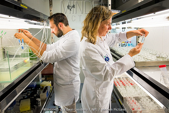 Ecotoxicologists conducting research in laboratory into impact of thiacloprid, a neonicotinoid, on aquatic organisms. Organisms found to be 2500 times more sensitive to the insecticide in the natural environment than in a lab. Living Lab, BioScience Park, Leiden University, The Netherlands. 2019. Model released.