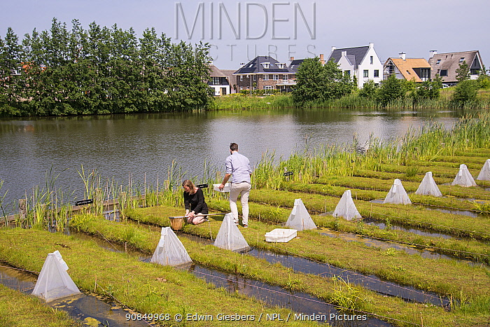 Ecotoxicologists sampling aquatic invertebrates in trial ditches exposed to thiacloprid, a neonicotinoid. Organisms found to be 2500 times more sensitive to the insecticide in the natural environment than in a lab. Living Lab, BioScience Park, Leiden University, The Netherlands. May 2019. Model released.