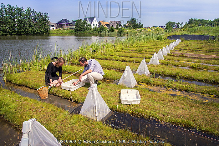 Ecotoxicologists sampling aquatic invertebrates in trial ditches exposed to thiacloprid, a neonicotinoid. Organisms found to be 2500 times more sensitive to the insecticide in the natural environment than in a lab. BioScience Park, Leiden University, The Netherlands. May 2019. Model released.