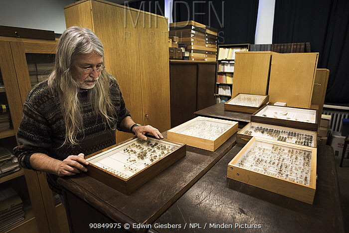 Entomologist examining pinned Insect specimens within collection. Entomological Society Krefeld. Germany 2019.