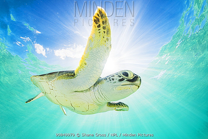 Green sea turtle (Chelonia mydas) swimming near surface, viewed from below, The Bahamas.
