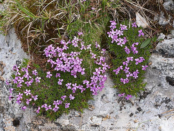 Moss campion (Silene acaulis) cushions growing on rock. Dolomites, Italy. July.