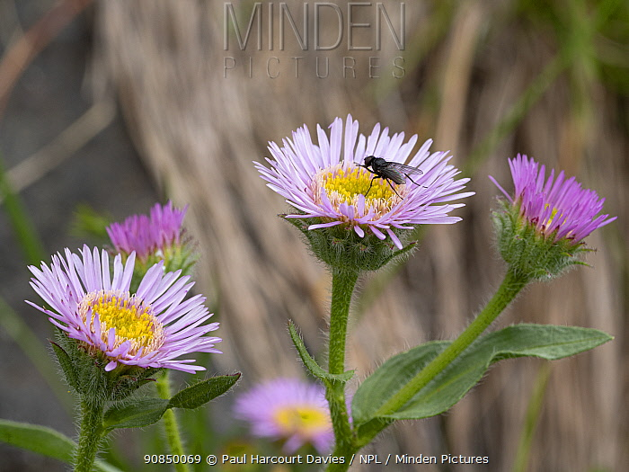 Alpine fleabane (Erigeron alpinus alpinus), Fly resting on flower. Fassa Valley, Dolomites, Italy. July.