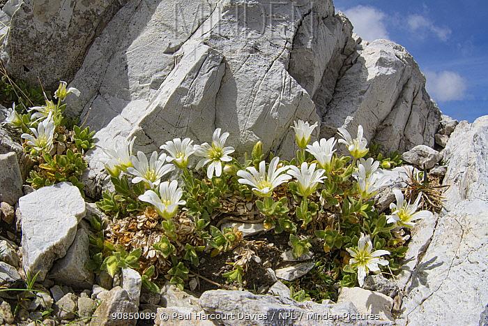 One-flowered mouse-ear (Cerastium uniflorum) amongst rocks at 2762m. Near Refugio Lagazuoi, above Falzarego Pass, Dolomites, Belluno, Italy. July.