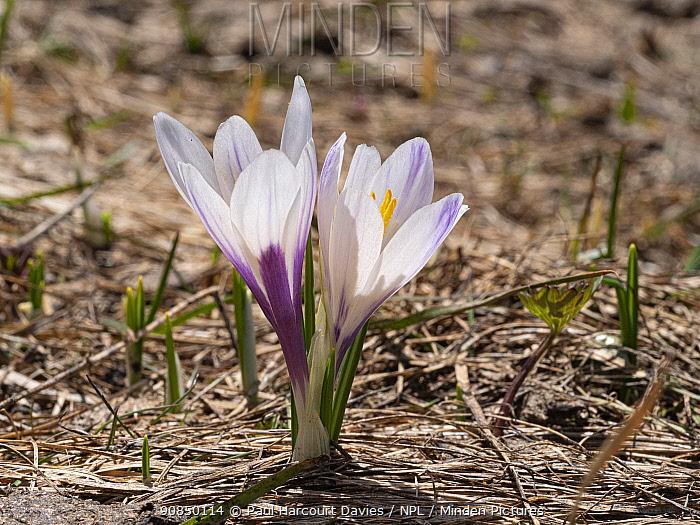 White crocus (Crocus vernus albiflorus). Sella massif, Dolomites, Italy. June.