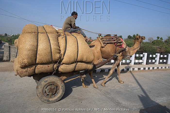 Cart pulled by Domestic camel, crossing bridge Ranthambore, India. March 2020.