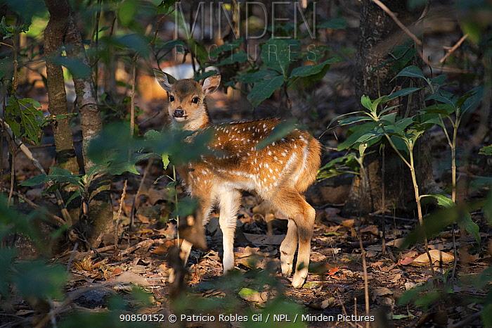 Chital deer (Axis axis) Jim Corbett National Park, India.