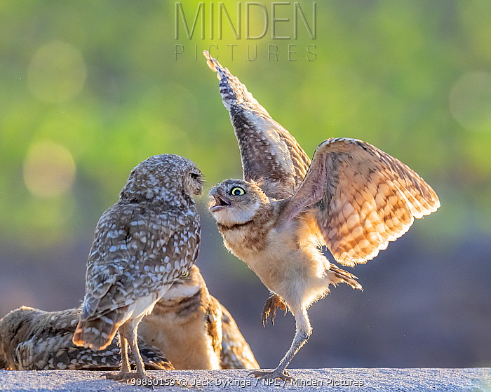 Burrowing owl (Athene cunicularia) male with begging juvenile, Marana, Sonoran Desert, Arizona, USA, May.