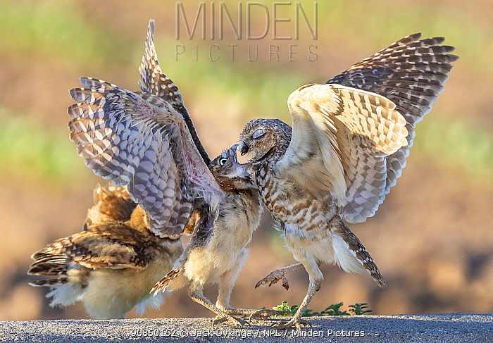 Burrowing owl (Athene cunicularia) female feeding young, who are three months out of the burrow, Marana, Arizona Sonoran Desert, USA