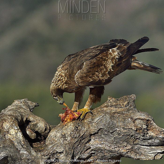 Golden eagle (Aquila chrysaetos) on a branch, feeding on rabbit, Pyrenees,Catalonia, Spain, March,