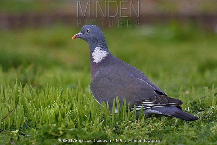 Wood pigeon (Columba palumbus) foraging in grass, Vendee, France, January