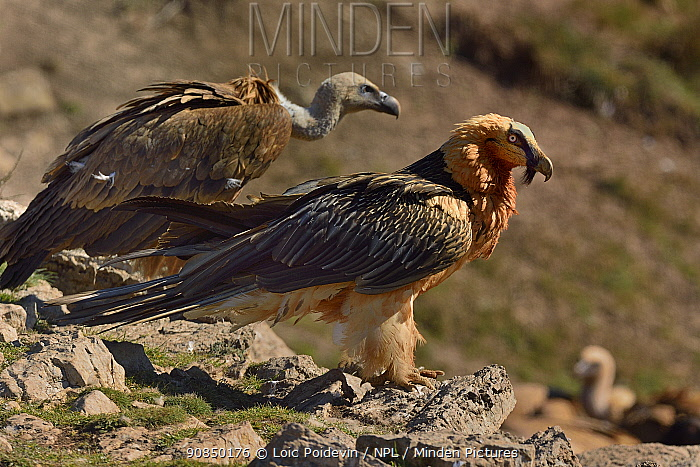 Bearded vulture (Gypaetus barbatus) and Griffon vulture (Gyps fulvus) foraging, Pyrenees, Catalonia, Spain, March