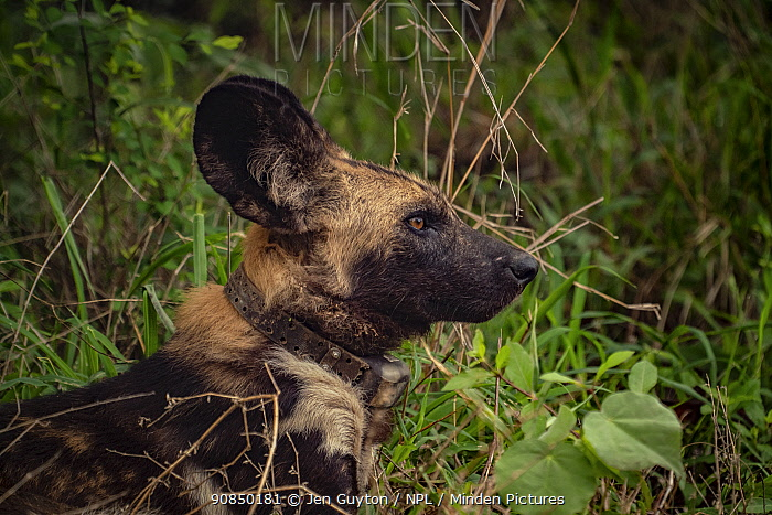 African wild dog (Lycaon pictus) fitted with tracking collar, Gorongosa National Park, Mozambique. part of the first pack to be reintroduced to the park since the end of the Mozambican Civil War, which wiped out more than 90% of large mammals in the park. These dogs were relocated from South Africa to Gorongosa in 2018, and quickly adapted to their new home.