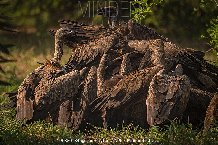 White-backed vultures (Gyps africanus) flock to finish off a wild dog pack's meal in Gorongosa National Park, Mozambique.