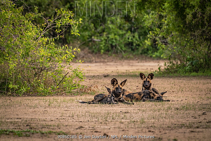 African wild dogs (Lycaon pictus) Gorongosa National Park, Mozambique. These individuals are part of the first pack of wild dogs to be reintroduced to the park since the end of the Mozambican Civil War, which wiped out more than 90% of large mammals in the park. These dogs were relocated from South Africa to Gorongosa in 2018, and quickly adapted to their new home.