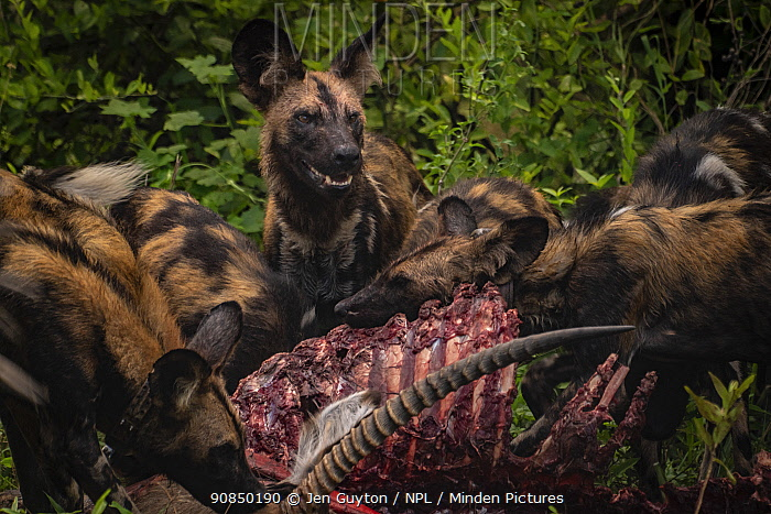 African wild dogs (Lycaon pictus) feeding on a waterbuck in Gorongosa National Park, Mozambique. These individuals are part of the second pack of wild dogs to be reintroduced to the park since the end of the Mozambican Civil War, which wiped out more than 90% of large mammals in the park. These dogs were relocated from South Africa to Gorongosa in 2019.