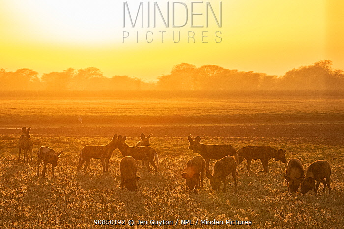 African wild dogs (Lycaon pictus) at sunset, These individuals are part of the first pack of wild dogs to be reintroduced to the park since the end of the Mozambican Civil War, which wiped out more than 90% of large mammals in the park. These dogs were relocated from South Africa to Gorongosa NP in 2018, and quickly adapted to their new home.