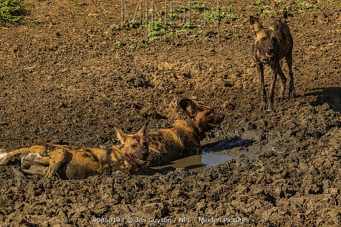 African wild dogs (Lycaon pictus) walowing in mud, Gorongosa National Park, Mozambique. These individuals are part of the first pack of wild dogs to be reintroduced to the park since the end of the Mozambican Civil War, which wiped out more than 90% of large mammals in the park. These dogs were relocated from South Africa to Gorongosa in 2018, and quickly adapted to their new home.