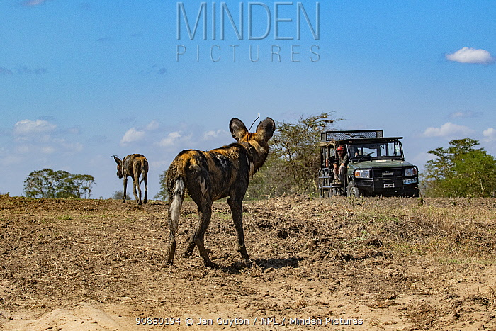 An endangered African wild dog, or painted wolf (Lycaon pictus) watching filmmaker Brett Kuxhausen in Gorongosa National Park, Mozambique. These individuals are part of the first pack of wild dogs to be reintroduced to the park since the end of the Mozambican Civil War, which wiped out more than 90% of large mammals in the park. These dogs were relocated from South Africa to Gorongosa in 2018, and quickly adapted to their new home.