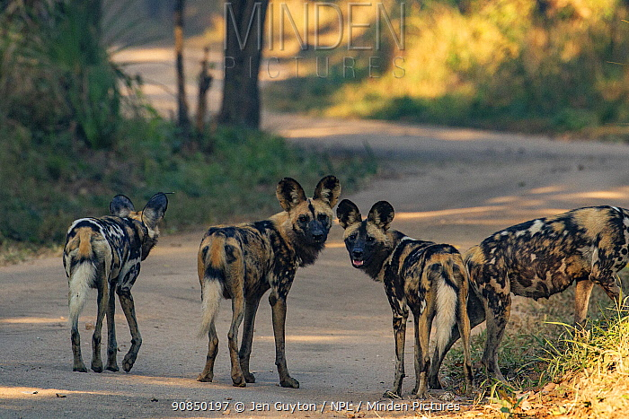 African wild dogs (Lycaon pictus) stand on the road in Gorongosa National Park, Mozambique, part of the first pack of wild dogs to be reintroduced to the park since the end of the Mozambican Civil War, which wiped out more than 90% of large mammals in the park. These dogs were relocated from South Africa to Gorongosa in 2018, and quickly adapted to their new home. (Lycaon pictus) stand on the road in Gorongosa National Park, Mozambique. These individuals are part of the first pack of wild dogs to be reintroduced to the park since the end of the Mozambican Civil War, which wiped out more than 90% of large mammals in the park. These dogs were relocated from South Africa to Gorongosa in 2018, and quickly adapted to their new home.