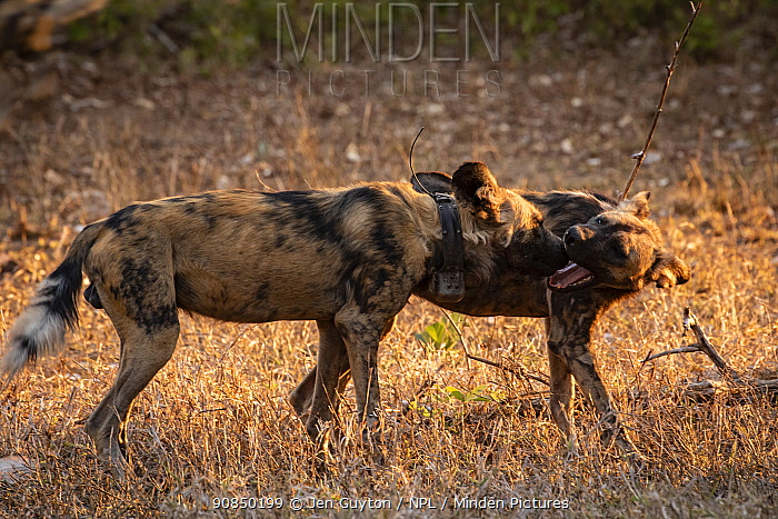 AAfrican wild dogs (Lycaon pictus) fitted with tracking collar, greeting, Gorongosa National Park, Mozambique, part of the first pack to be reintroduced to the park since the end of the Mozambican Civil War, which wiped out more than 90% of large mammals in the park. These dogs were relocated from South Africa to Gorongosa in 2018, and quickly adapted to their new home.