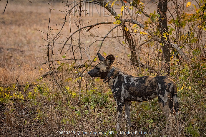 African wild dog (Lycaon pictus) fitted with tracking collar, Gorongosa National Park, Mozambique, one of the first pack to be reintroduced to the park since the end of the Mozambican Civil War, which wiped out more than 90% of large mammals in the park. These dogs were relocated from South Africa to Gorongosa in 2018, and quickly adapted to their new home.