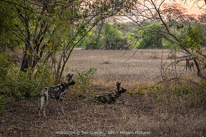 African wild dogs (Lycaon pictus) fitted with tracking collar, Gorongosa National Park, Mozambique, partof the first pack to be reintroduced to the park since the end of the Mozambican Civil War, which wiped out more than 90% of large mammals in the park. These dogs were relocated from South Africa to Gorongosa in 2018, and quickly adapted to their new home.