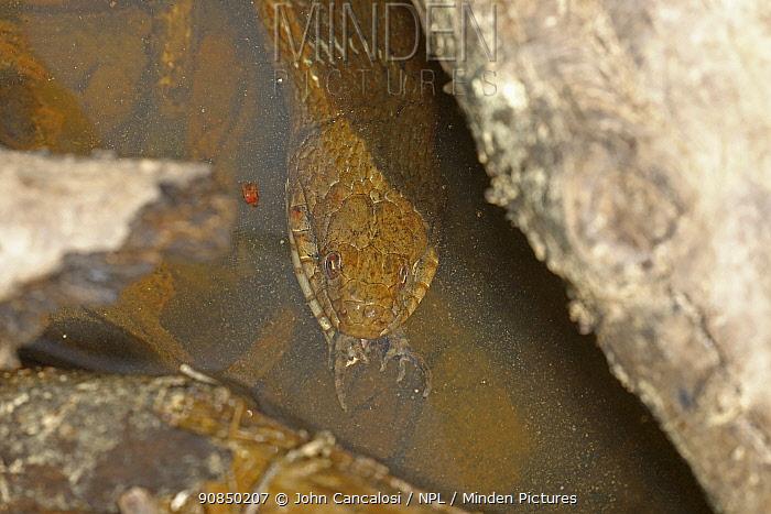 Northern water snake (Nerodia sipedon), eating American toad (Anaxyrus americanus), Maryland, USA. April.