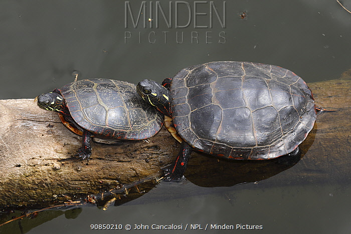 Painted turtles (Chrysemys picta) basking, Maryland, USA. May.
