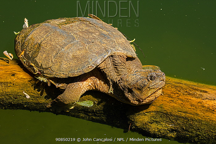 Snapping turtle (Chelydra serpentina) Maryland, USA. May.