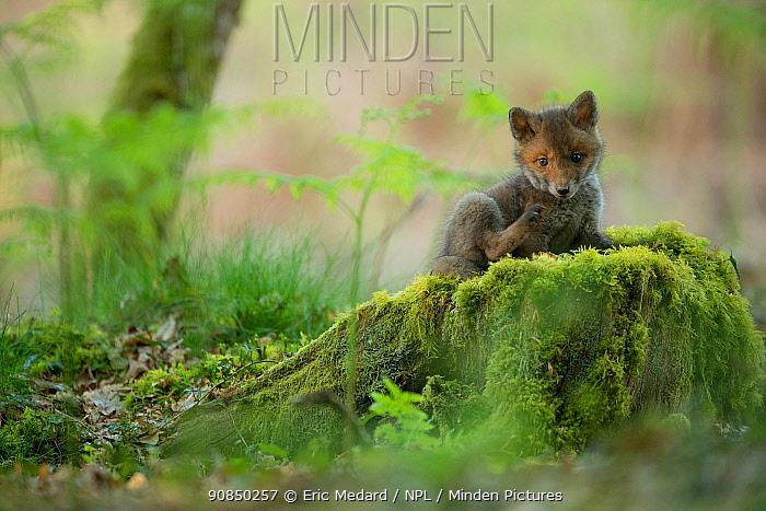 Red fox (Vulpes vulpes) kit on tree stump, Switzerland, April.