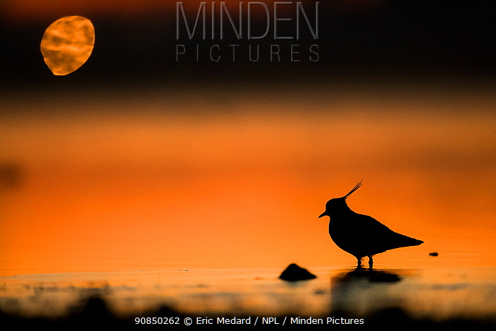 Northern lapwing (Vanellus vanellus) silhouetted at water edge, France, December