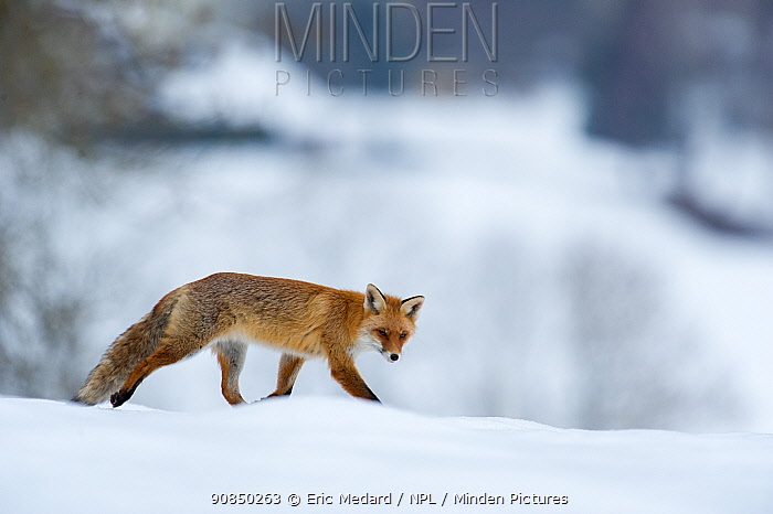 Red fox (Vulpes vulpes) in snow, France, February.