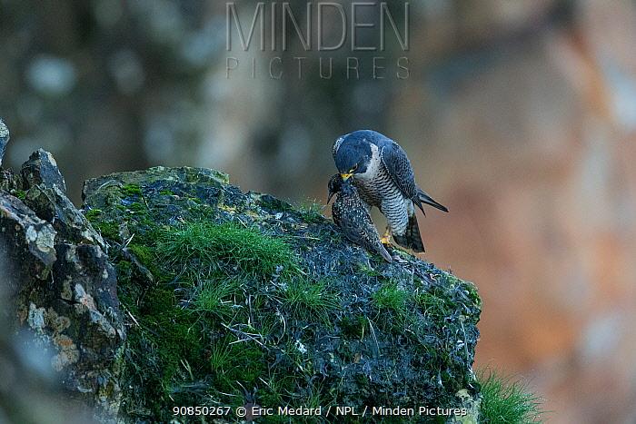 Peregrine falcon (Falco peregrinus) feeding on starling,Mayenne, France, January.