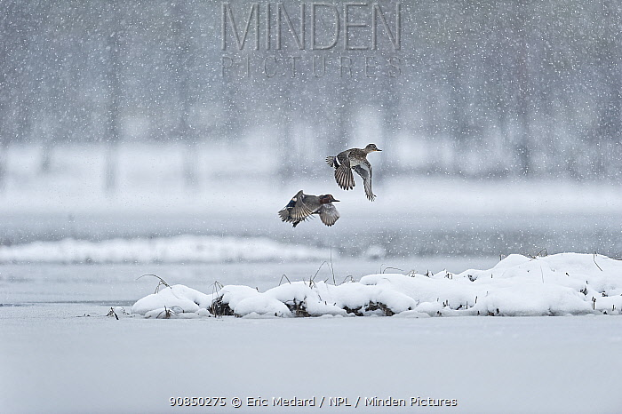 Eurasian teal (Anas crecca) two in flight in snowfall Sweden