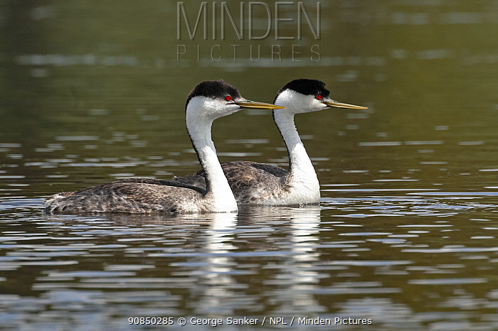 Western grebes (Aechmophorus occidentalis). Yellowstone National Park, Wyoming, USA.