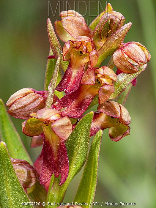 Frog orchid (Dactylorhiza viridis), close up. Dolomites, Italy. July.