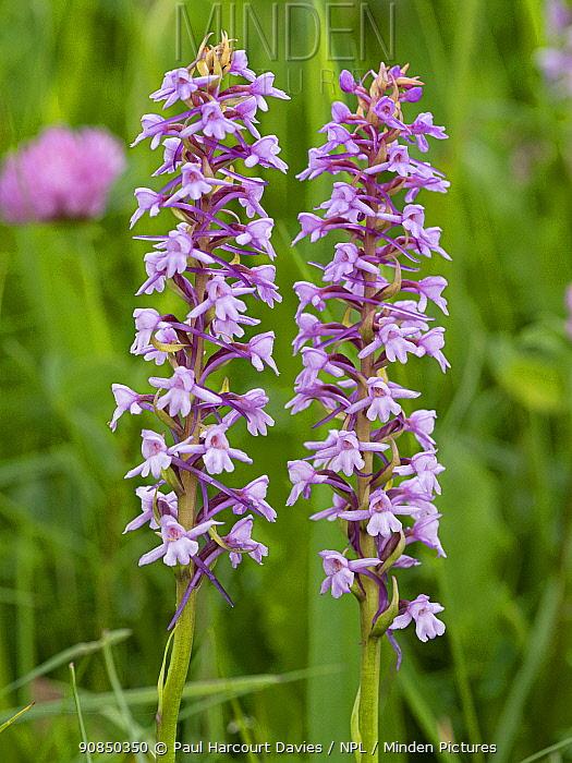 Fragrant orchid (Gymnadenia conopsea). Ciampac, Fassa Valley, Dolomites, Trentino, Italy. July.
