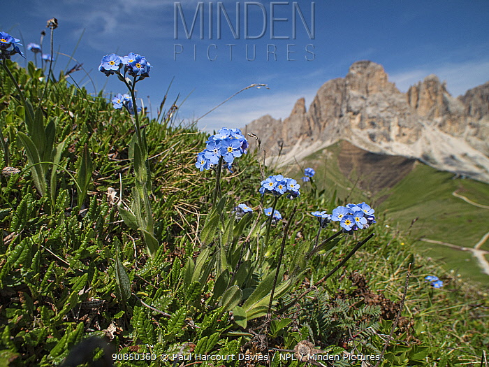 Alpine wood forget-me-not (Myosotis alpestris) overlooking mountains. Col di Rodella, Fassa Valley, Dolomites, Trentino, Italy. June 2017.