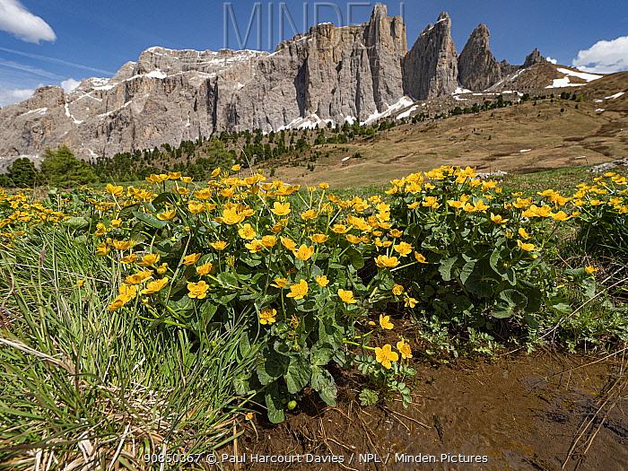 Marsh marigold (Caltha palustris) at water's edge, mountains of Sella massif in background. Dolomites, Trentino-Alto Adige, Italy. June 2019.