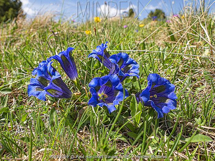 Trumpet gentian (Gentiana acaulis) in grassland. Pordoi Pass, Dolomites, Trentino, Italy. June.