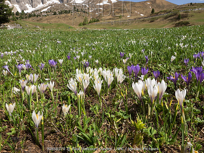 White crocus (Crocus vernus albiflorus) in alpine meadow in spring. Sella massif, Dolomites, Trentino-Alto Adige, Italy. June 2019.
