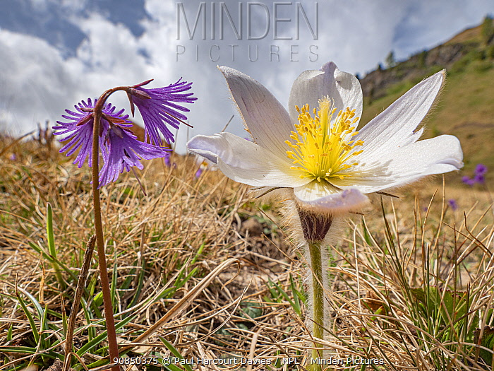Spring pasqueflower (Pulsatilla vernalis) and Alpine snowbell (Soldanella alpina). Dolomites, Italy. June.