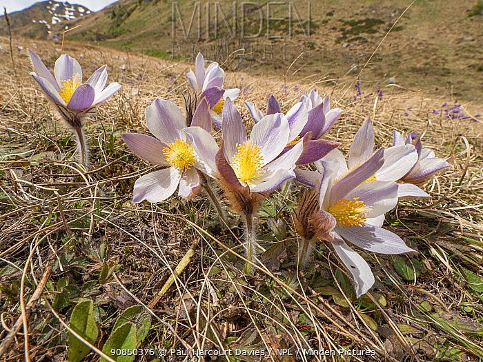 Spring pasqueflower (Pulsatilla vernalis) in grassland. Dolomites, Italy. June 2019.