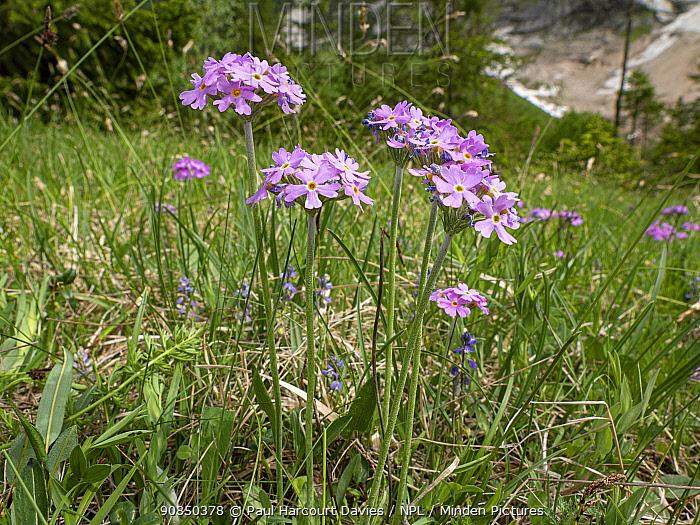 Bird's-eye primrose (Primula farinosa) in grassland. Dolomites, Italy. June.