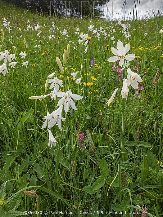 St Bruno's lily (Paradisea liliastrum) in alpine meadow. Dolomites, Italy. June.