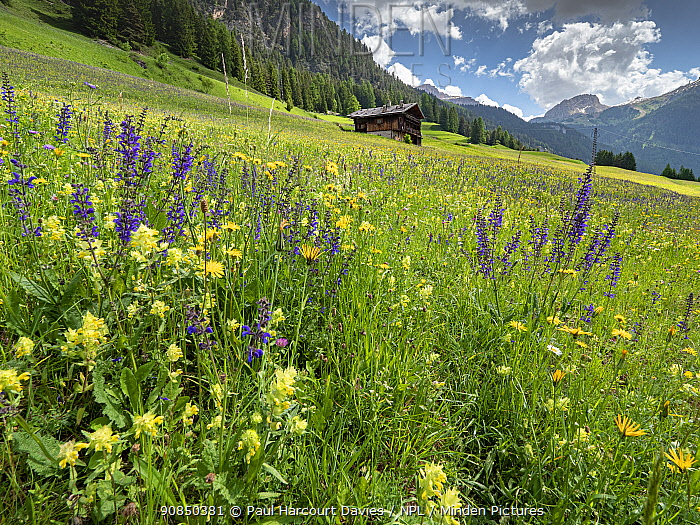Species rich alpine meadow with Meadow clary (Salvia pratensis) and Yellow rattle (Rhinanthus sp), mountain hut and mountains in background. Fassa Valley, Dolomites, Trentino, Italy. June 2019.